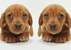 small-petsutra-dogs-bones-are-not-healthy-puppy-with-sad-eyes-x2